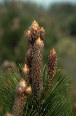 Slangenhuidden - Pinus leucodermis 'Boemer'