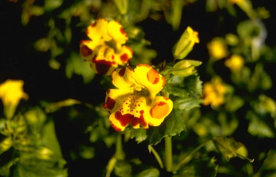 Mimulus 'Bees' Major'