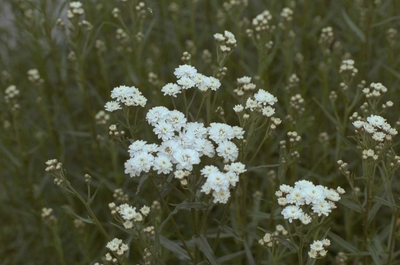 Hemdsknoopjes - Achillea ptarmica 'Perry's White'
