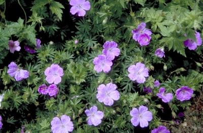 Bloedooievaarsbek - Geranium sanguineum 'Belle of Herterton'