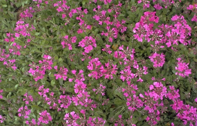 Scheefkelk Arabis Blepharophylla