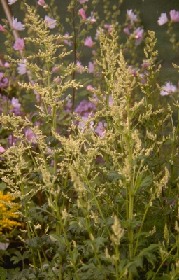 Witte bijvoet - Artemisia lactiflora