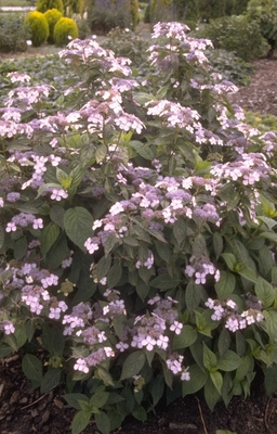 Hortensia - Hydrangea serrata 'Bluebird'
