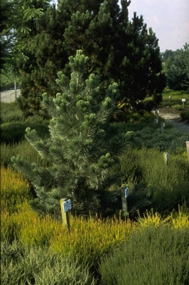 Den - Pinus flexilis 'Firmament'