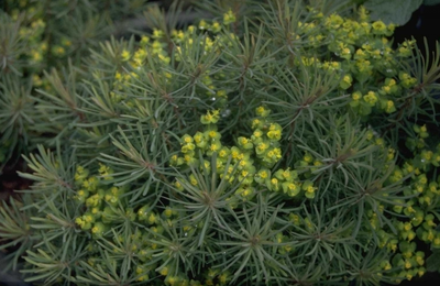 Cipreswolfsmelk - Euphorbia cyparissias 'Clarice Howard'