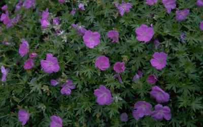 Ooievaarsbek - Geranium sanguineum 'Nanum'