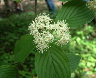 Kornoelje - Cornus alternifolia