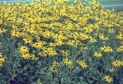 Zonnehoed - Rudbeckia fulgida var. Speciosa