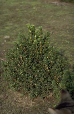 Fijnspar - Picea abies 'Tompa'