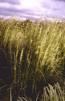 Ruwe smele - Deschampsia cespitosa