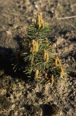 Bergden - Pinus mugo 'Arpad'