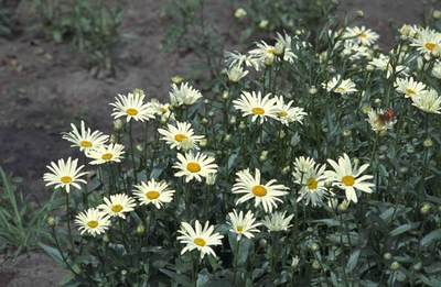 Margriet - Leucanthemum 'Silberprinzesschen'
