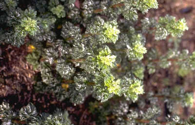 Artemisia vulgaris 'Crispa'