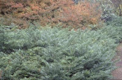 Knoptaxus - Taxus Cephalotaxus harringtonia