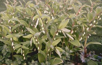 Salomonszegel - Polygonatum falcatum 'Variegatum'