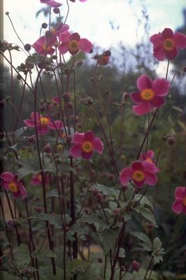 Herfstanemoon - Anemone hupehensis 'Splendens'