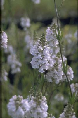Vlasleeuwenbek - Linaria x dominii 'Carnforth'