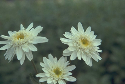 Margriet - Leucanthemum 'Christine Hagemann'