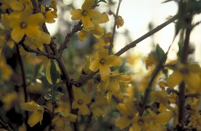 Chinees klokje - Forsythia ovata 'Tetragold'