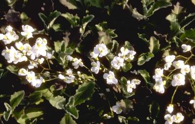 Rijstebrij - Arabis caucasica 'Plena'