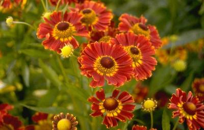 Zonnekruid - Helenium 'Königstiger'