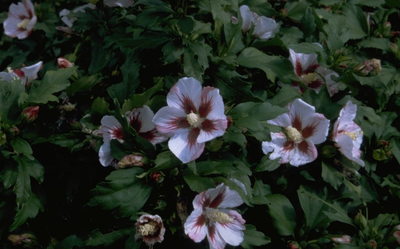 Heemstroos - Hibiscus syriacus 'Hamabo'