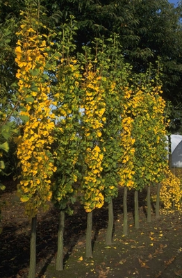Japanse notenboom - Ginkgo biloba 'Tremonia'