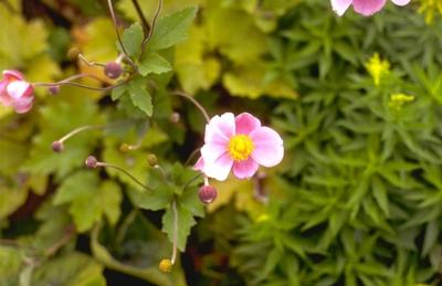 Herfstanemoon - Anemone x hybrida 'Hadspen Abundance'