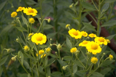 Zonnekruid - Helenium 'Gartensonne'