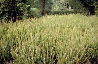 Struikhei - Calluna vulgaris 'Firefly'