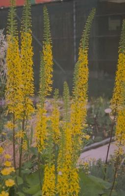 Kruiskruid - Ligularia 'Zepter'