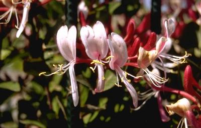 Wilde kamperfoelie - Lonicera periclymenum 'Serotina'
