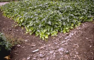 Ierse klimop - Hedera hibernica