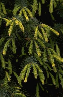 Picea breweriana 'Fr?hlingsgold'