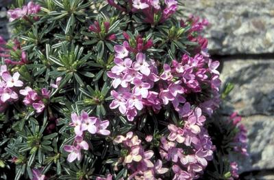 Steenroosje - Daphne arbuscula