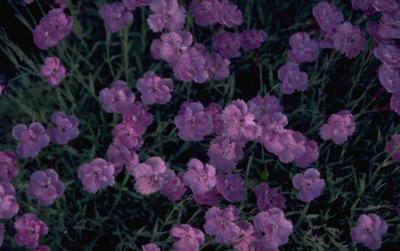Rotsanjer - Dianthus gratianopolitanus 'Pink Jewel'