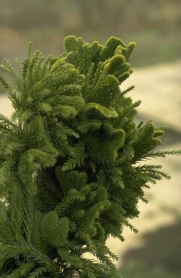 Japanse cipres - Cryptomeria japonica 'Cristata'