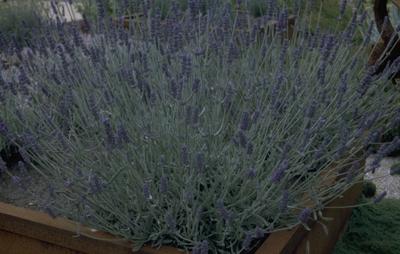 Gewone lavendel - Lavandula 'Richard Gray'