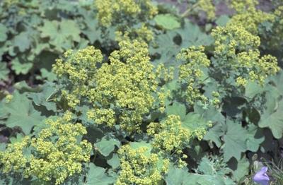 Fraaie Vrouwenmantel - Alchemilla mollis 'Robustica'