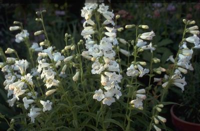 Slangenkop - Penstemon 'White Bedder'