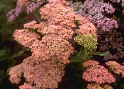 Gewoon duizendblad - Achillea millefolium 'Altrosa'