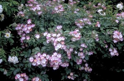 Heesterroos - Rosa 'Ballerina'