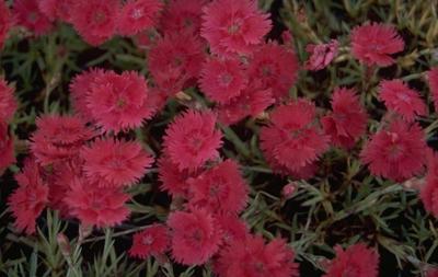 Rotsanjer - Dianthus gratianopolitanus 'Emmen'