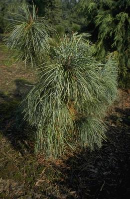 Pinus pumila 'Hannover M?nden'