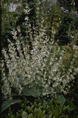 Muskaatsalie - Salvia sclarea 'Alba'