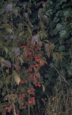 Wilde kardinaalsmuts - Euonymus europaeus 'Red Cascade'