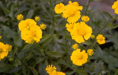 Zonnekruid - Helenium 'Butterpat'