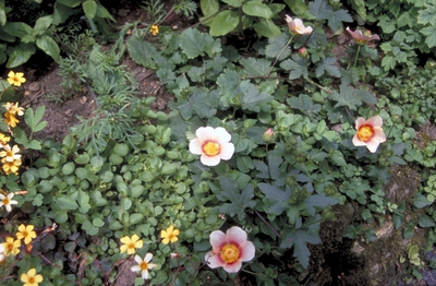 Bergamotplant - Monarda 'Twins'