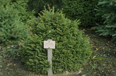 Fijnspar - Picea abies 'Gregoryana Veitchii'
