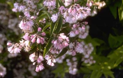 Bruidsbloem - Deutzia Scabra 'Candidissima'